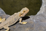 Australia  Alice Springs Bearded Dragon by Small Pool of Water