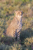 A Single Male Cheetah Sittings in the Grass  Ngorongoro  Tanzania
