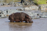 Four Oxpecker Birds Perch on Back of Hippo  Landscape View