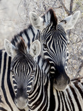 Namibia, Etosha National Park. Portrait of Two Zebras Papier Photo par Wendy Kaveney