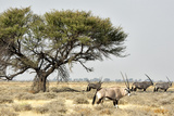 Namibia  Etosha National Park Five Oryx and Tree