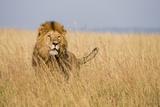 Kenya  Maasai Mara  Mara Triangle  Mara River Basin  Lion in the Grass