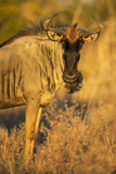 Botswana  Chobe NP  Wildebeest Standing in Savuti Marsh at Dawn