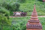 Farmer Driving an Ox-Cart  Bagan  Mandalay Region  Myanmar