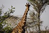 Kenya  Laikipia  Il Ngwesi  Reticulated Giraffes in the Bush