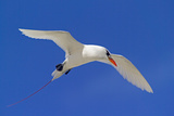 Cook Islands  South Pacific Red-Tailed Tropicbird