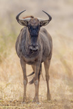 South Londolozi Private Game Reserve Frontal View of Gnu
