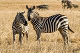 Kenya  Chyulu Hills  Mbirikani  Pair of Burchell's Zebra