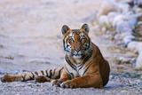 Royal Bengal Tiger by the Ramganga River  Corbett NP  India