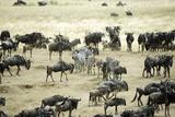 Kenya  Masai Mara  Zebras and Wildebeests Migrating