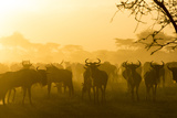 Herd of Wildebeests Silhouetted in Golden Dust  Ngorongoro  Tanzania