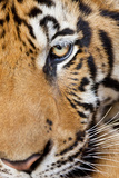 Portrait  Indochinese Tiger or Corbett's Tiger  Thailand