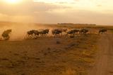 Kenya  Amboseli National Park  Wildebeest Running at Sunset