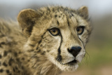 Livingstone  Zambia  Africa Close-up of a Cheetah Cub