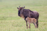 Wildebeest Besides its Calf  Ngorongoro Conservation Area  Tanzania
