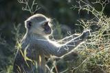 Botswana  Moremi Game Reserve  Vervet Monkey Eating Seeds