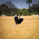 Male Ostrich Running in Grass  Leaning to Right