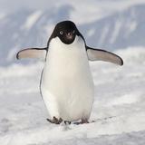 Cape Washington  Antarctica Adelie Penguin Walks Forward