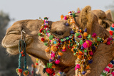 Camels Decorated for a Desert Festival Jaisalmer Rajasthan India