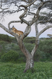 Lionness Lies in an Acacia  Ngorongoro Conservation Area  Tanzania