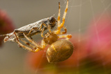 USA  Colorado  Jefferson County Orb-Weaver Spider with Prey