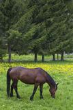 Romania  Transylvania  Tihuta Pass  Horse in Pasture