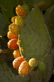 Santa Barbara  Mountain Drive Home  Bodine  Prickly Pear in Fruit