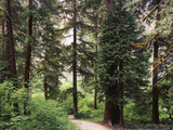 Canada  BC  Sitka Spruce Forest at Exchamsiks River Provincial Park