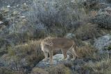 Puma Female  Lago Sarmiento  Torres del Paine NP  Patagonia  Chile