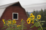 Canada  BC  Vancouver Island  Cowichan Valley Sunflowers by a Barn