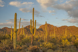 USA  Arizona  Saguaro National Park Desert Landscape