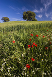 Wild Flowers in Field  Spring  Near Olvera  Andalucia  Spain