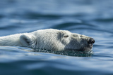 Canada  Nunavut  Repulse Bay  Polar Bear Swimming Near Harbour Islands