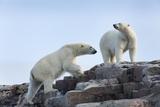 Canada  Nunavut  Repulse Bay  Polar Bears Walking across Stony Ridge