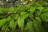 Resurrection Fern  Pleopeltis Polypodioides  Florida