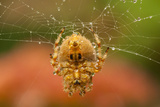 USA  Colorado  Jefferson County Orb-Weaver Spider on Web