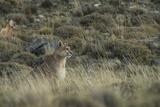 Puma Female  Torres del Paine NP  Patagonia  Magellanic Region  Chile