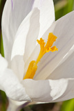 A White Crocus in a Garden in Portsmouth  New Hampshire