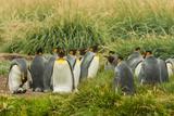 Chile  Patagonia  Tierra del Fuego King Penguin Colony
