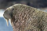 Canada  Nunavut Territory  Walrus Near Arctic Circle on Hudson Bay