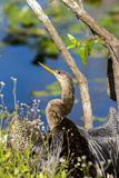 Anhinga Drying its Wings  Anhinga Trail  Everglades NP  Florida