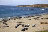 Elephant Seals  Piedras Blancas  San Simeon  California