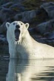 Canada  Nunavut  Repulse Bay  Polar Bears Yawning in Water