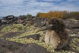 Waved Albatross Juvenile  Espanola Island  Galapagos Islands  Ecuador