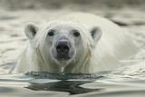 Canada  Repulse Bay  Polar Bear Along Shoreline of Harbour Islands