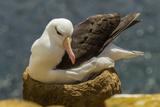 Falkland Islands  Saunders Island Black-Browed Albatross on Nest