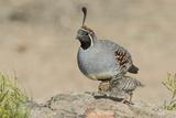 USA  Arizona  Amado Male Gambel's Quail with Chick
