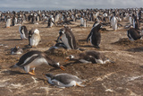 Falkland Islands  Sea Lion Island Gentoo Penguin Colony