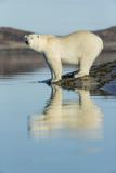 Canada  Nunavut  Repulse Bay  Polar Bears Standing Along Shoreline
