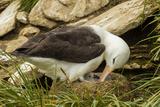 Falkland Islands  Saunders Island Black-Browed Albatross with Chick